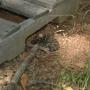 rattlesnake-ls